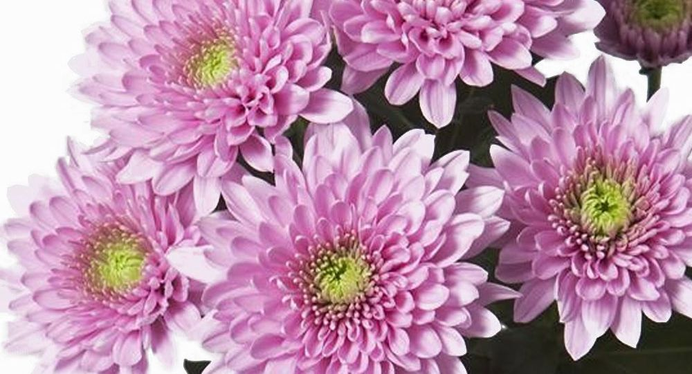 chrysanthemum-bush-light-pink