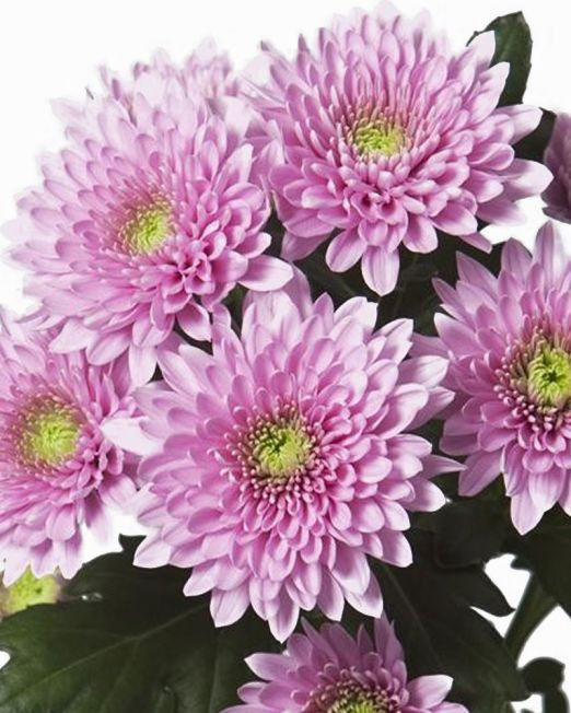 chrysanthemum-bush-light-pink