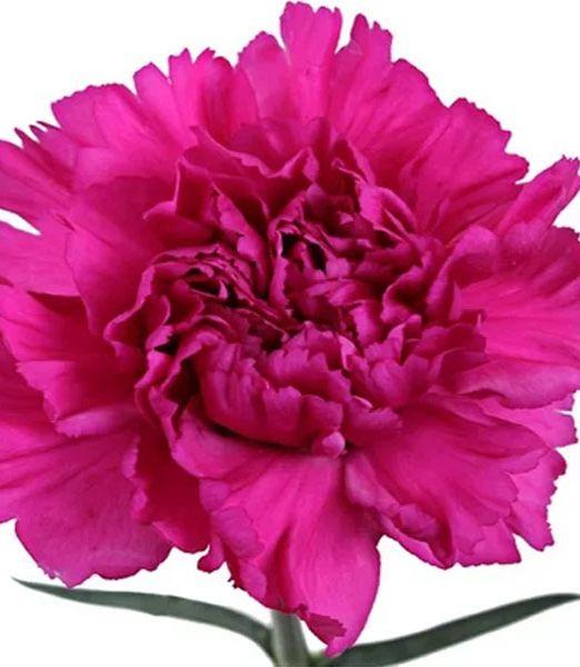 carnation-dark-pink