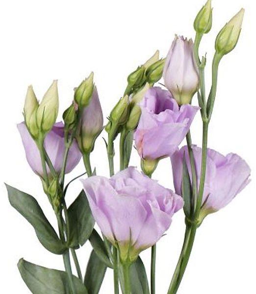 eustoma-purple