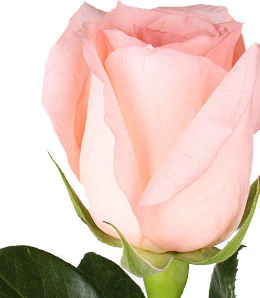 rose-engagement