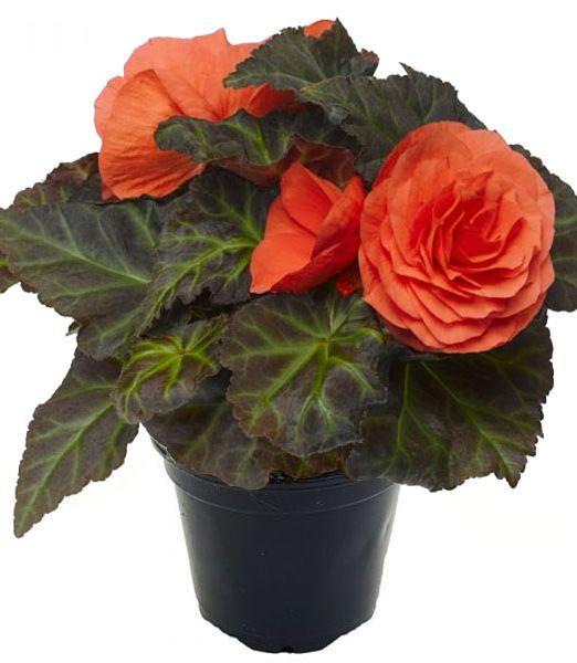 begonia-orange