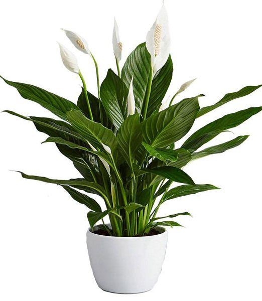 peace-lily-spathiphyllum