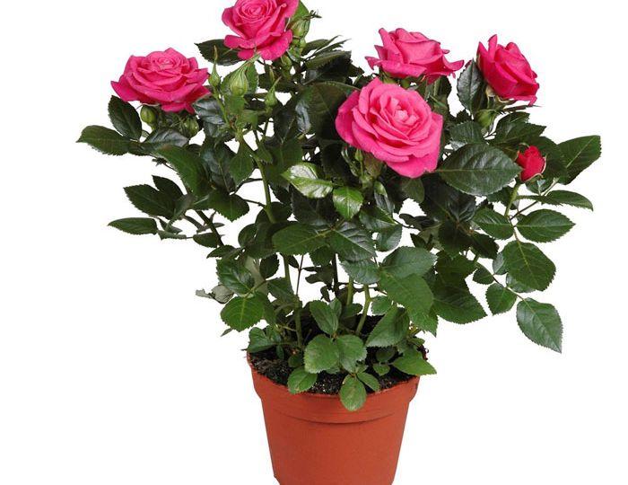rose-hot-pink